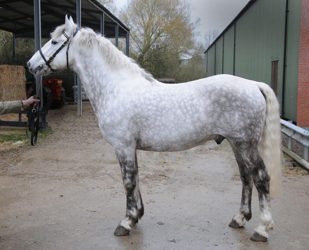 newsham zinadine zidane horse